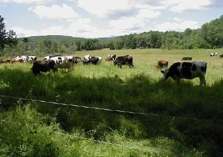 egremont_cows_in_pasture.jpg