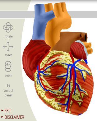 anatomia sydän