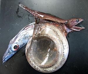 Kala joka voi syödä itseään neljä kertaa suurempia kaloja McPherson 'Dorson' Wright
