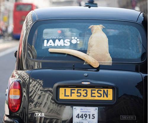 iams-ad-taxi-wagging-tail.jpg