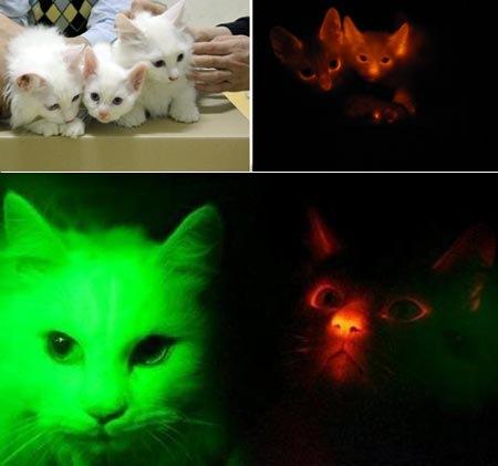 Etelä-Korealaisessa yliopistossa on onnistuttu kehittämään pimeässä loistavia kissoja