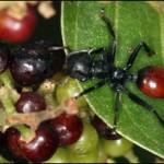 Loiseläin, joka muuntaa muurahaisen marjan näköiseksi houkutellakseen lintuja