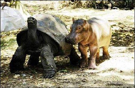 Virtahepovauvalle ottoäiti 100-vuotiaasta kilpikonnasta