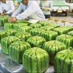 Japanissa on keksitty kuution muotoinen vesimeloni