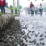 Sammakoiden joukkopako Kiinassa