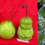 Kuinka kasvatat buddhan muotoisia päärynöitä?