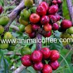 Sivettikissan elimistön tuotoksen juhlahetki: Kopi Luwak -kahvi