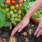 The TomTato – kasvi, joka tuottaa samalla tomaatteja ja perunoita