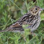 Tutkijat kehittivät ohjelmiston, joka tunnistaa linnun sen laulusta