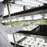 Toshiban keinotekoinen farmi kasvattaa salaattia ilman auringonvaloa tai maaperää