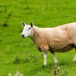 Kymmenen vuoden päästä ihmisen uusia sisäelimiä osataan kasvattaa lampaassa, hoitokeino mm. diabetekseen – Stanfordin yliopiston tutkijaryhmä kokeilee ihmis-lammas-hybridejä