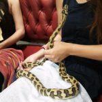 Japanilainen käärmekahvila tarjoaa teen seuraksi mahdollisuuden leikkiä käärmeen kanssa