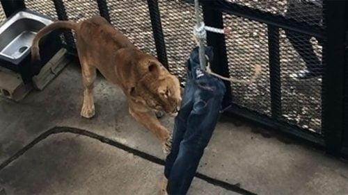 Leijona repii farkkuja